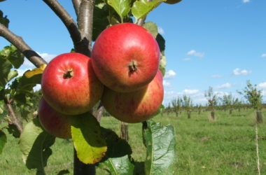 East of England Apples and Orchards Project